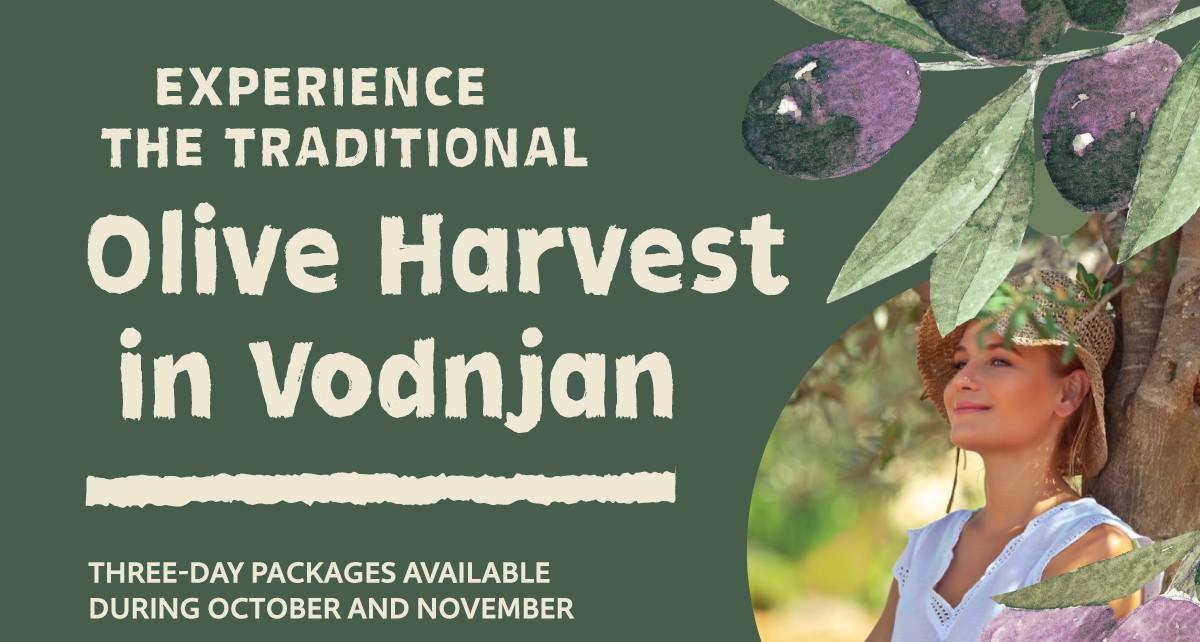 Olive harvest in Vodnjan