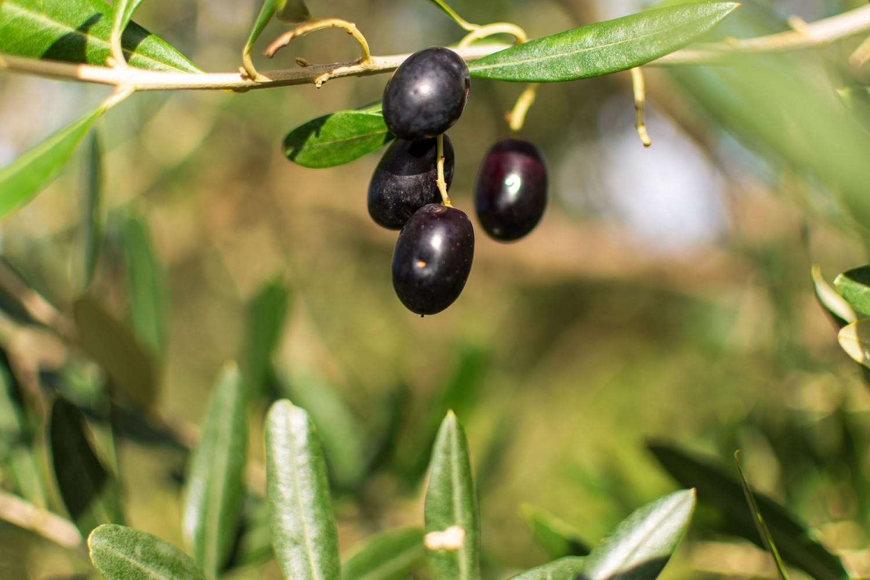 Messe des jungen Olivenöls